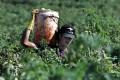 Australia, ecco i giovani «schiavi» italiani: undici ore a notte,  a raccogliere cipolle nei campi