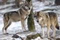 La sorprendente fauna selvatica che ha ripopolato Chernobyl