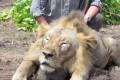 SOCIAL: La rabbia del web contro il veterinario torinese che uccide i leoni