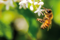 AMBIENTE: A Milano nasce l'autostrada per le api. Sarà la via fiorita più lunga d'Italia